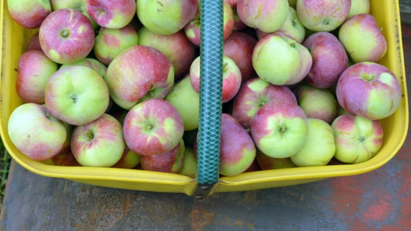 a basket full of free apples