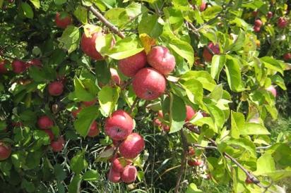 Nova Scotia McIntosh apple