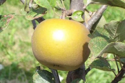 yellow pristine exotic apple