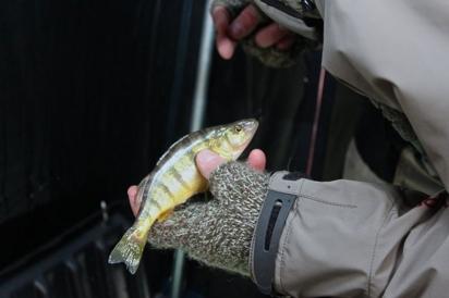 Yellow perch fish